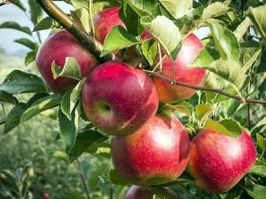 Aceto di mele 4