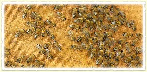 La moria delle api: perché? 1