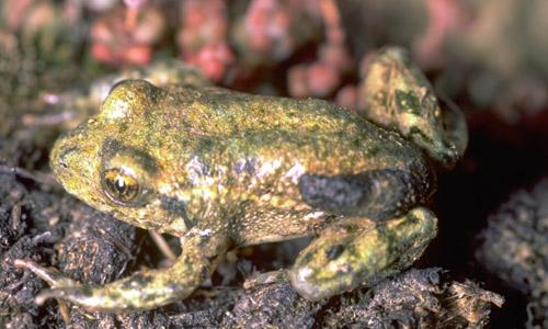 La peste delle rane