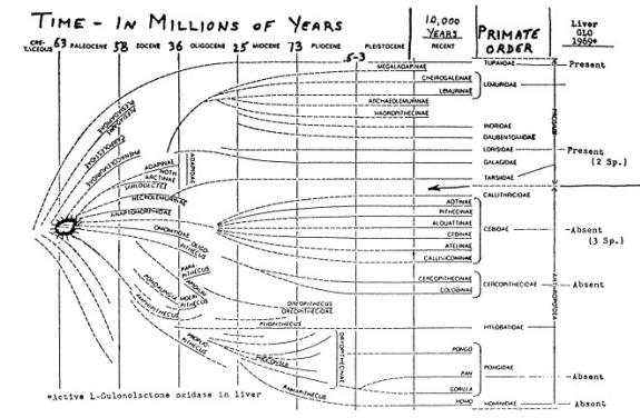 Acido ascorbico nell'evoluzione dei mammiferi e dei primati 2