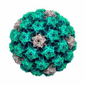 papillomavirus