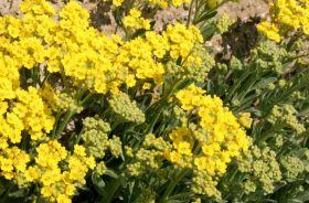 Alyssum – In Uk si studia il fiore che salverà il mondo?