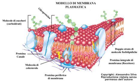 membrana_plasmatica_Bruce_lipton