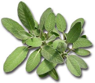 Salvia, un erba spirituale