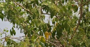 Salvadora persica - Crediti immagine: wikimedia.org