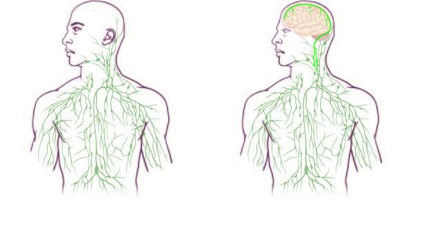 Trovato collegamento mancante tra cervello e sistema immunitario