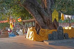 Albero secolare di Peepal (Ficus religiosa) - Bodh Gaya Bihar