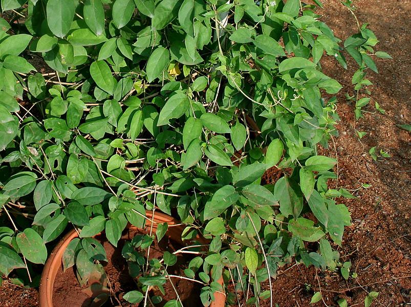 Gymnema sylvestre per abbassare la glicemia e dimagrire