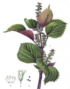 pianta Perilla fruttescens