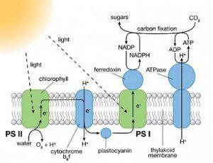 Fotosintesi artificiale per produrre idrogeno combustibile 1