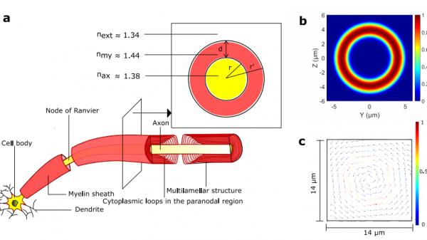 Canali ottici di comunicazione nel cervello?