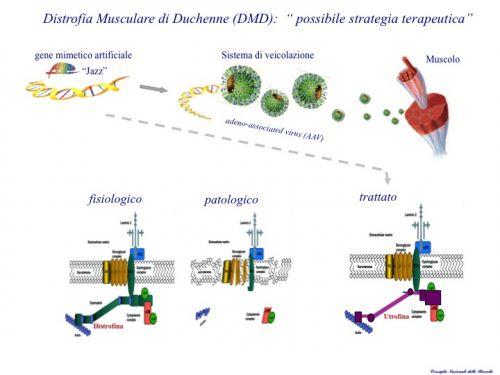 Distrofia di Duchenne, un gene artificiale apre la strada a nuove terapie